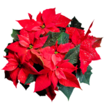 Poinsettia plant - view from above